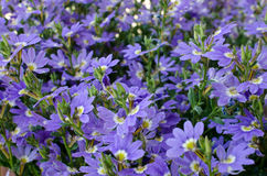 Flowers Scaevola aemula. Flower bed with blooming flowers Scaevola aemula Royalty Free Stock Image