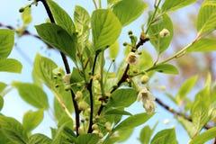 Flowers of schisandra Royalty Free Stock Photos