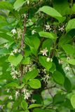 Flowers of Schisandra Chinese. Spring flowering plants stock photography