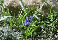 Flowers of scilla siberica Royalty Free Stock Photo