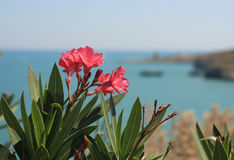 Flowers and sea. Pink flowers in the background with the sea Royalty Free Stock Image