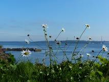 Flowers by the sea Cobh Ireland seaside. Wild flowers by the sea at Cobh county Cork Ireland Stock Photo