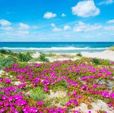 Flowers by the sea in Platamona beach. Sardinia Stock Images