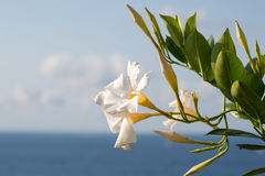 Flowers by the sea, view of santa maria dellísola Stock Images