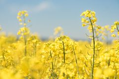 Flowers in the season spring. Yellow field royalty free stock photos