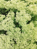 Flowers of sedum spectabile. Stock Photos