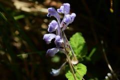 Skullcap. Flowers see in the spring meadow  `Skullcap Royalty Free Stock Photos