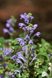 Skullcap. Flowers see in the spring meadow  `Skullcap Stock Photography