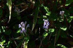 Skullcap. Flowers see in the spring meadow  `Skullcap Royalty Free Stock Photo