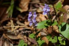Skullcap. Flowers see in the spring meadow  `Skullcap Stock Photos