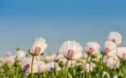 Flowers and seedheads of white and purple colored poppies in a f. Closeup of white and purple flowering Papaver somniferum plants cultivated for breadseed Royalty Free Stock Photo