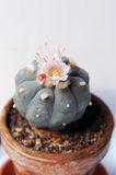 Flowers and seeds of peyote Royalty Free Stock Photo