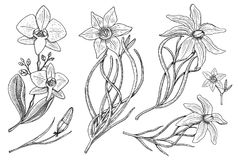 Flowers set, daffodil and orchid with leaves and buds and lily. Wedding botanical garden or plant. Vector illustration Royalty Free Stock Photography