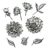 Flowers set of dahlias and leaves Royalty Free Stock Images