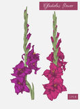 Flowers set of hand drawn gladiolus flowers. Royalty Free Stock Photo
