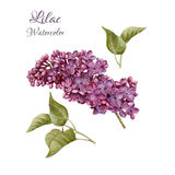 Flowers set of watercolor lilac and leaves. Royalty Free Stock Photos