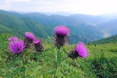 Flowers of setose thistle Stock Image