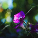 Flowers In the Shadows. Petunias Flower in a garden Royalty Free Stock Photography