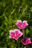 Flowers, Shi Zhu,Dianthus chinensis L Stock Photography