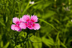 Flowers, Shi Zhu,Dianthus chinensis L Stock Photos