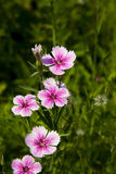 Flowers, Shi Zhu,Dianthus chinensis L Royalty Free Stock Images
