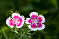 Flowers, Shi Zhu,Dianthus chinensis L Royalty Free Stock Photos
