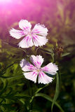 Flowers, Shi Zhu,Dianthus chinensis L Stock Photo