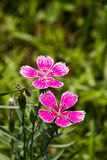 Flowers, Shi Zhu,Dianthus chinensis L Stock Images