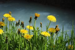 Flowers by the Shore. Blooming Dandelions by the shore Royalty Free Stock Images