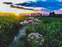 Flowers on the shore of a stream in the countryside with sunset views. stock image