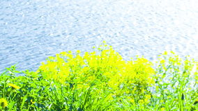 Flowers on shore of Lake stock video footage