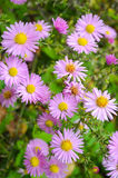 Flowers shrubby asters. Autumn flowers pink shrub asters - Dumosus Royalty Free Stock Photography