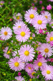 Flowers shrubby asters. Autumn flowers pink shrub asters - Dumosus Royalty Free Stock Photo