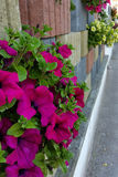 Flowers on sidewalk. Flowers on a fence near the street Stock Images