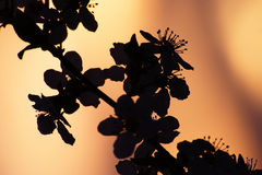 Flowers Silhouette At Spring Sunset Stock Images