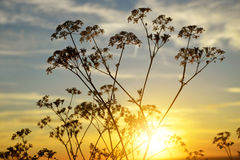 Flowers silhouette in the sunset. Stock Image