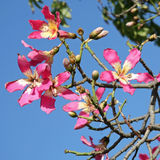 Flowers of the Silk Floss Tree, Chorisia Speciosa. Stock Photos