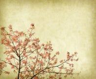 Flowers of the Silk Floss Tree, Chorisia Speciosa Stock Images