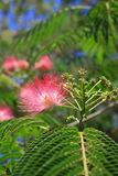 Flowers of silktree Royalty Free Stock Photo