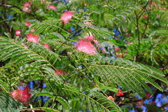 Flowers of silktree Royalty Free Stock Images