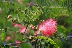Flowers of silktree Stock Photography