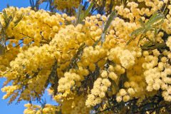 Flowers of silver wattle Royalty Free Stock Photo
