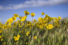 Flowers and Sky. Yellow wildflowers against a bright blue sky royalty free stock photography