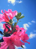 Flowers on the Sky. Beautiful flowers on sky, fantasty, pinky, flowers Royalty Free Stock Photo
