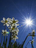 Daffodil with sun. Flowers with the sky on the morning Stock Photos