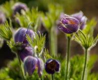 Flowers sleep-grass Royalty Free Stock Image