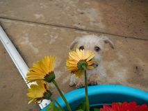 Flowers. Smelling flowers puppy spring pet cute love stock image
