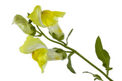 Flowers of snapdragon, lat.Antirrhinum, isolated on white backgr Stock Photography