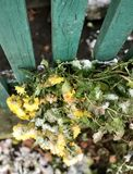 A dramatic scene of yellow flowers falling over in early winter snow Stock Image