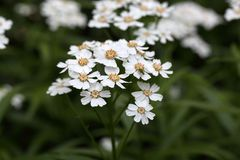 Flowers of a sneezewort Stock Images